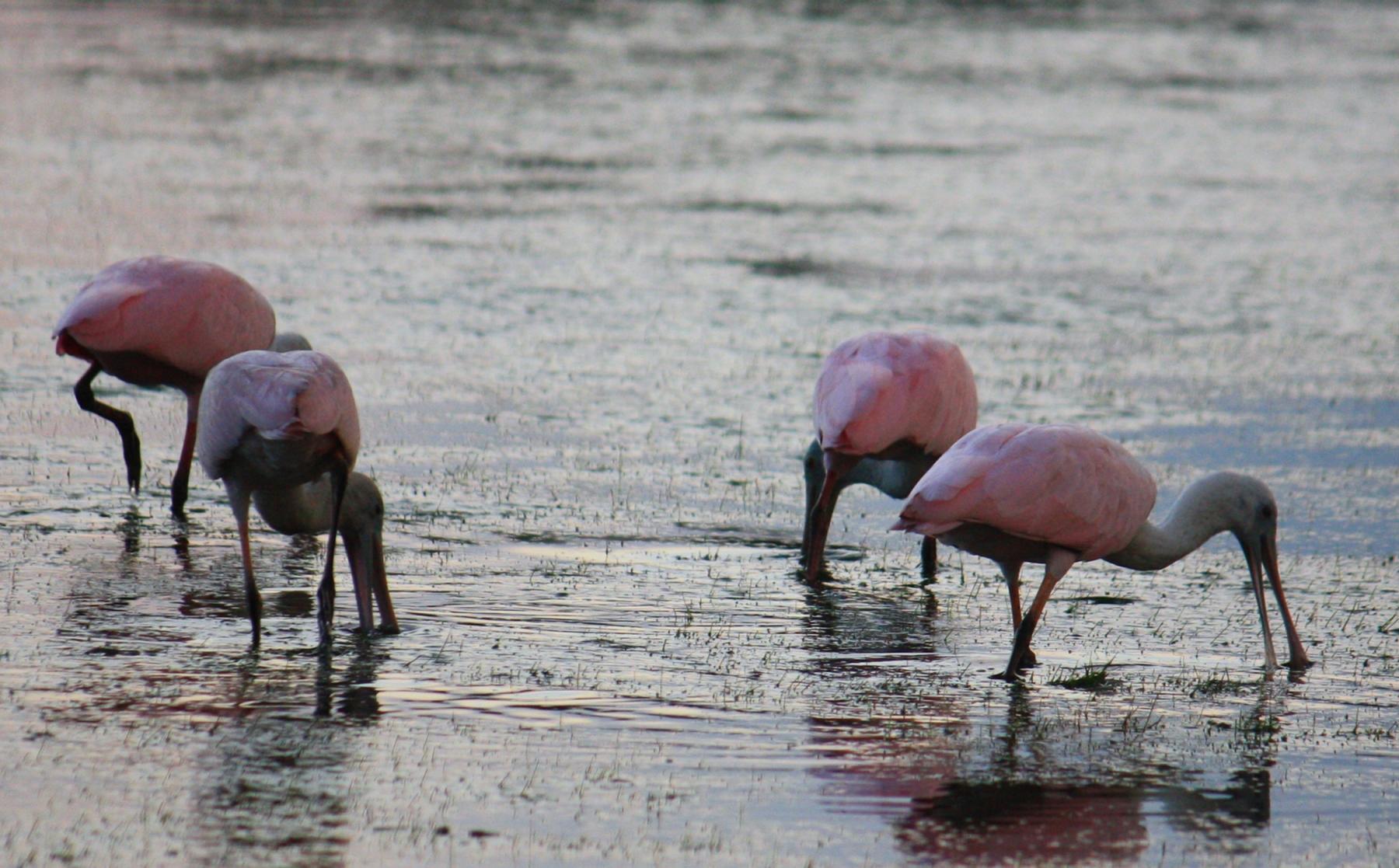 Spoonbills feeding