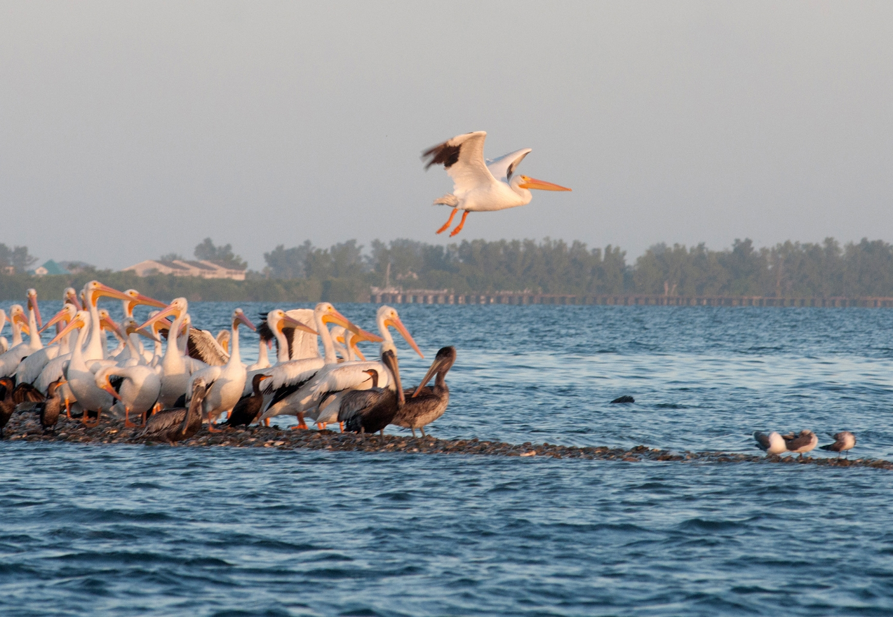 White and Brown Pelicans