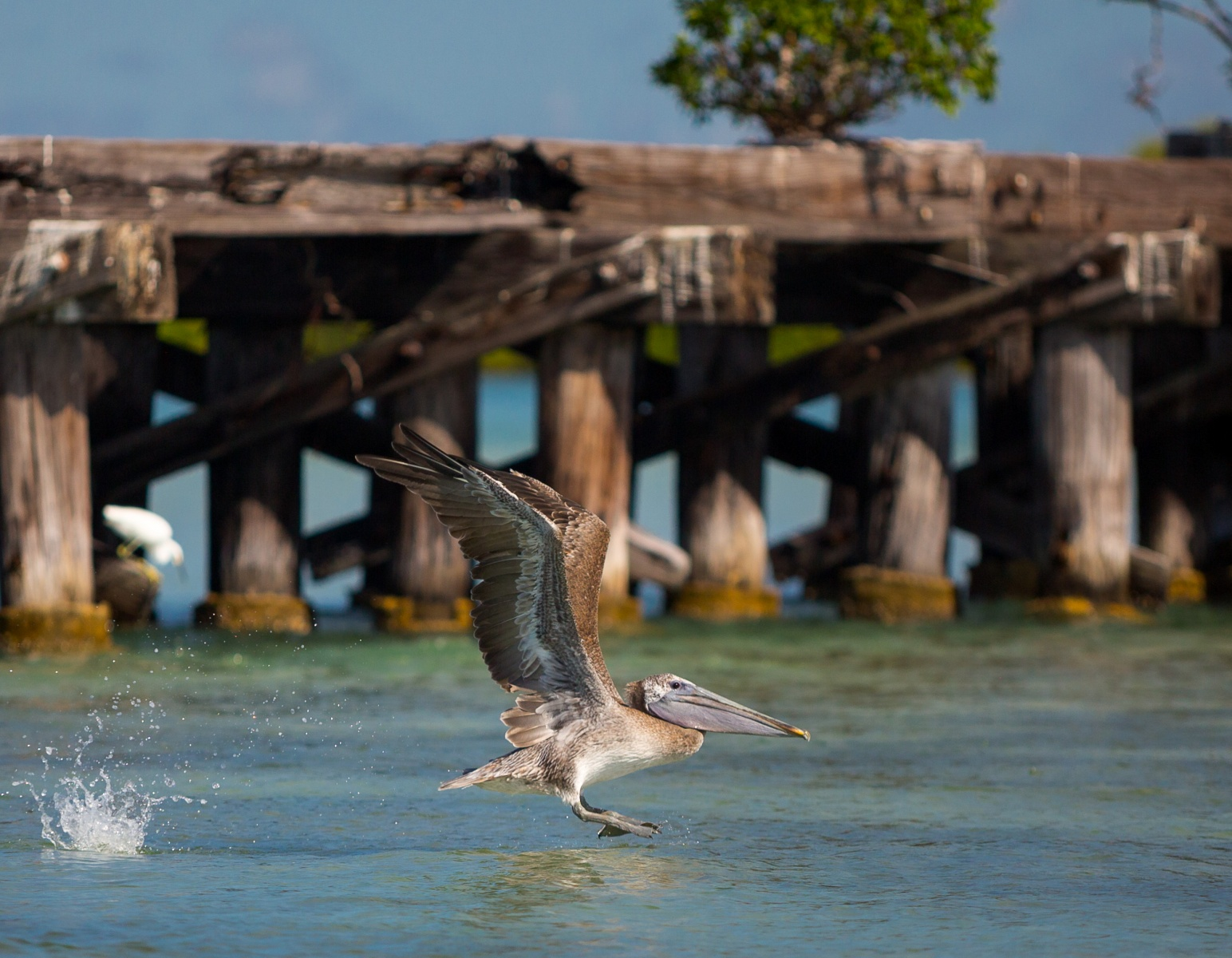 Brown pelican taking flight in front of the historic Boca Grande railroad trestle.