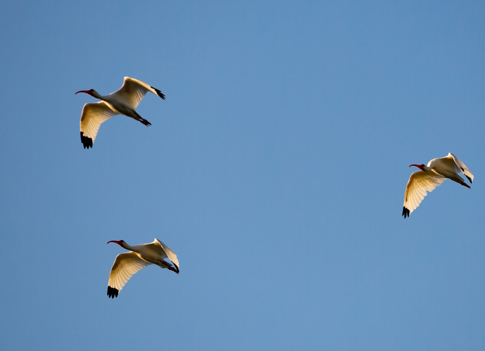 Ibis in flight