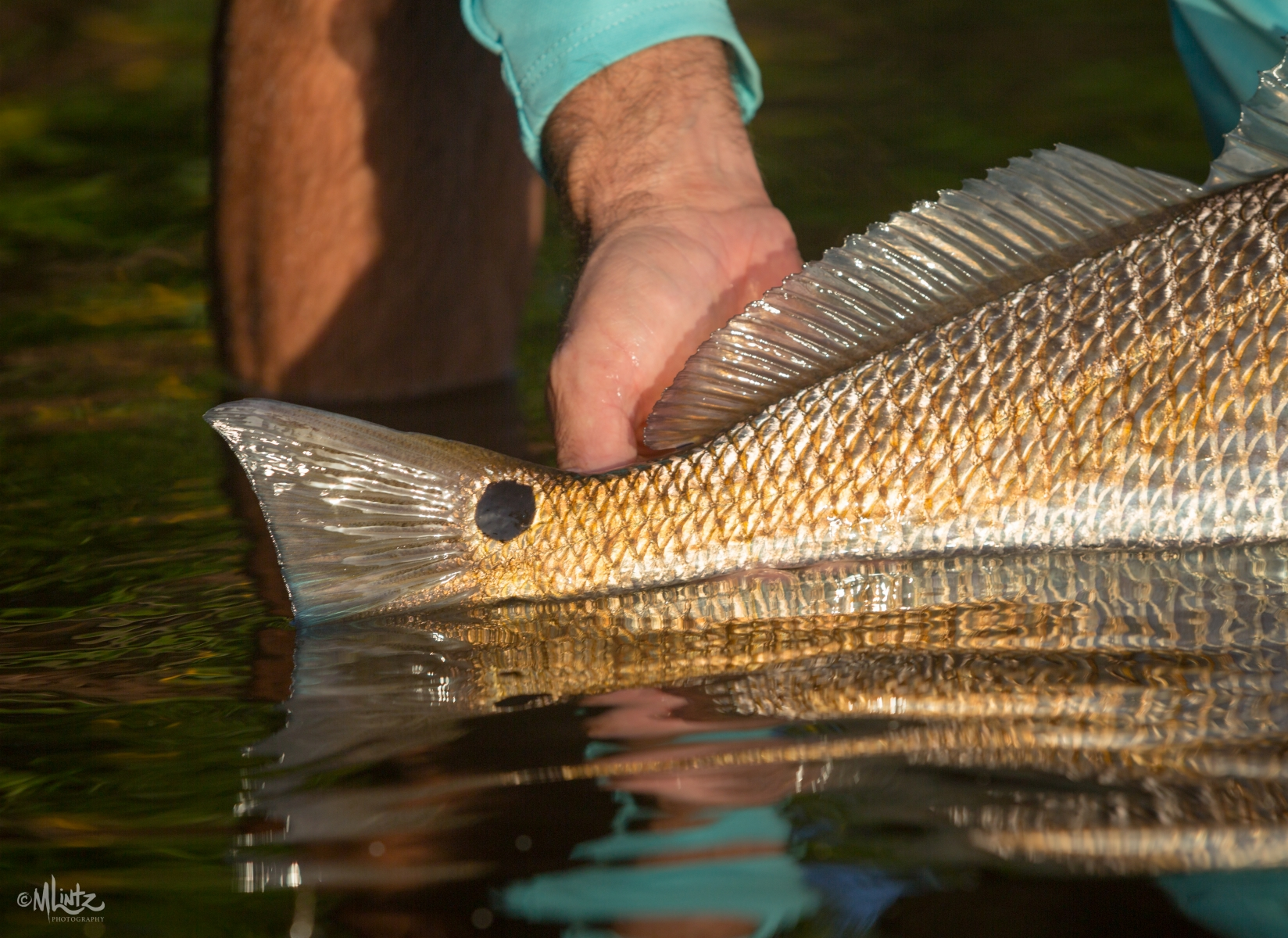 Redfish tail catching the morning light in Boca Grande, FL