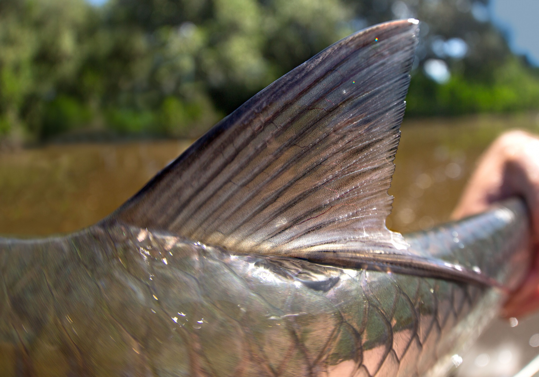 Detailed look at a small tarpon's dorsal fin