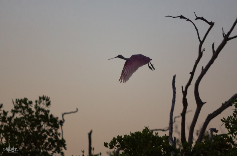 Spoonbill taking flight at dawn
