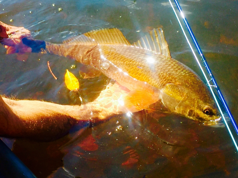 Redfish caught fly fishing