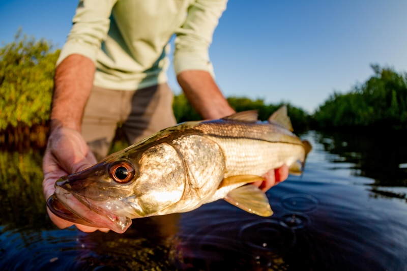 Gold morning light highlighting the beauty of a snook.